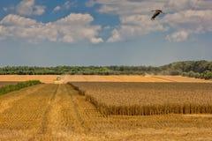 Colha o campo de trigo Imagens de Stock