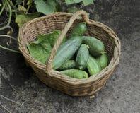 Colha pepinos em uma cesta wattled, foco seletivo Imagens de Stock Royalty Free