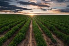 A colheita abundante da agricultura, sistema de irrigação, sulca a paisagem cultivada do campo fotos de stock