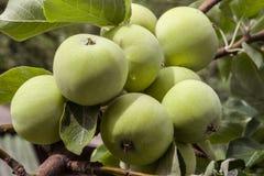 Colheita abundante de maçãs verdes no ramo de árvore da maçã foto de stock