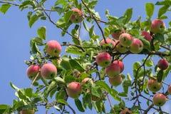 Colheita abundante de maçãs vermelhas no ramo de árvore da maçã contra o céu azul Uma maçã vermelha amadurece em um ramo de árvor fotos de stock