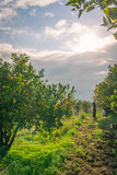 Colheita alaranjada em Sicília Fotografia de Stock Royalty Free
