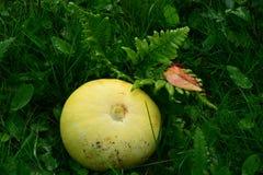 Colheita amarela da abóbora do verão samambaias novas molhadas com orvalho com folhas caídas Imagens de Stock