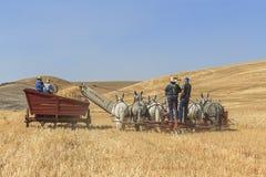Colheita antiquado do trigo em Colfax, Washington foto de stock royalty free