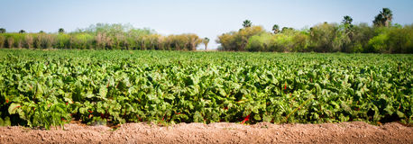 Colheita beneficiente no crescimento da exploração agrícola Fotografia de Stock