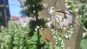 Colheita bonita da borboleta Imagem de Stock Royalty Free
