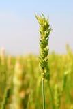Colheita comercial do trigo de mola Imagens de Stock