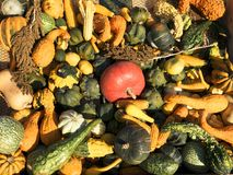 Colheita da abóbora Abóboras de Halloween Fundo rústico rural do outono com abóbora vegetal Imagem de Stock Royalty Free