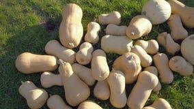 Colheita da abóbora Abóboras de Halloween Fundo rústico rural do outono com abóbora vegetal video estoque