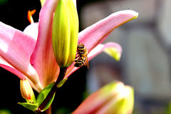 Colheita da abelha imagem de stock