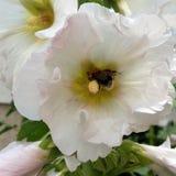 Colheita da abelha Fotos de Stock