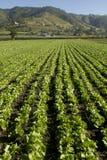 Colheita da alface fresca verde Imagens de Stock Royalty Free