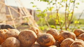 Colheita da batata Contra o contexto de um jardim imagem de stock royalty free
