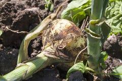 a colheita da cebola Imagem de Stock