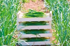 Colheita da cebola empilhada em umas caixas de madeira da cesta Fotografia de Stock