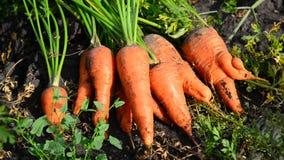 Colheita da cenoura que encontra-se na terra no jardim vídeos de arquivo