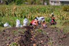 Colheita da família das batatas Agricultura no jardim do campo fotografia de stock royalty free