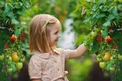 Colheita da menina e do tomate Fotos de Stock Royalty Free