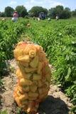 A colheita da pimenta doce Imagem de Stock