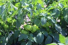 A colheita da pimenta doce Imagens de Stock