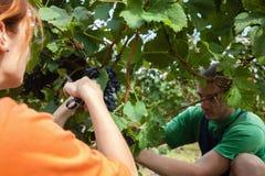 A colheita da uva Fotografia de Stock