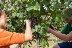 A colheita da uva Foto de Stock