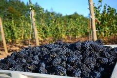 Colheita da uva de Pinot Noir Imagens de Stock Royalty Free