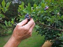 Colheita da uva-do-monte Imagens de Stock Royalty Free