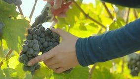Colheita da uva para vinho video estoque