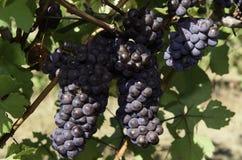 Colheita da uva para vinho no vale de Wilamette Imagem de Stock Royalty Free