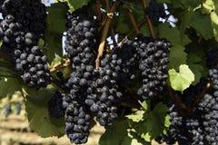 Colheita da uva para vinho no vale de Wilamette Imagens de Stock