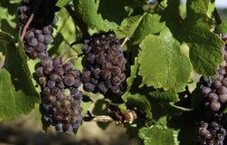 Colheita da uva para vinho no vale de Wilamette Foto de Stock Royalty Free