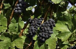 Colheita da uva para vinho no vale de Wilamette Fotos de Stock