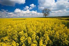 Colheita da violação de semente oleaginosa e céu azul Imagens de Stock Royalty Free