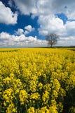 Colheita da violação de semente oleaginosa e céu azul Fotos de Stock