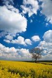 Colheita da violação de semente oleaginosa e céu azul Fotografia de Stock Royalty Free