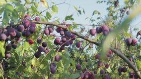 A colheita das ameixas video estoque