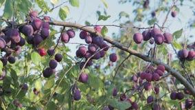 A colheita das ameixas filme