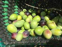 Colheita das azeitonas à mão Fotografia de Stock