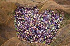 Colheita das azeitonas Foto de Stock Royalty Free