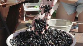 A colheita das bagas Groselha em suas mãos e em sua cubeta Fim acima video estoque