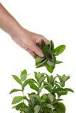 Colheita das folhas de hortelã Imagem de Stock