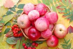 Colheita das maçãs fotografia de stock royalty free