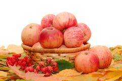 Colheita das maçãs imagens de stock royalty free