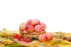 Colheita das maçãs fotos de stock royalty free