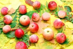 Colheita das maçãs imagens de stock