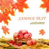 Colheita das maçãs de encontro às folhas de outono fotos de stock royalty free