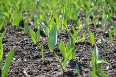Colheita das tulipas Fotografia de Stock