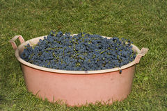 Colheita das uvas Fotografia de Stock Royalty Free