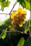 Colheita das uvas Fotos de Stock